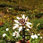 Región Everest. Edelweiss la flor de la region
