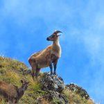 Región Everest. cabras silvestres