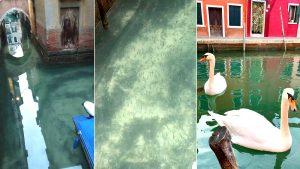 cisnes venecia medio ambiente coronavirus
